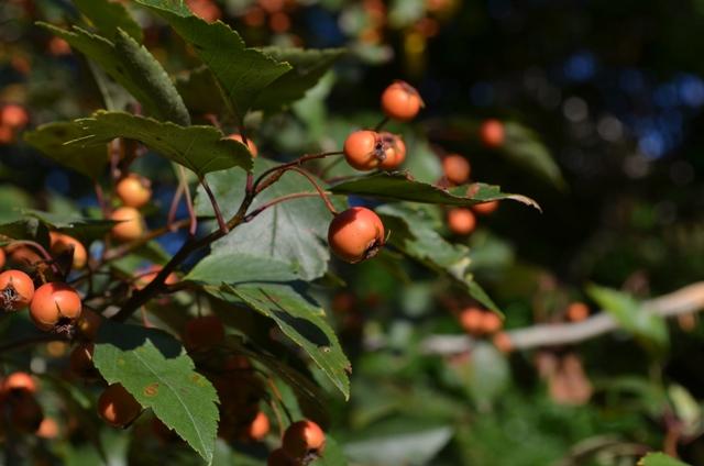 Autumn Berries in New York City