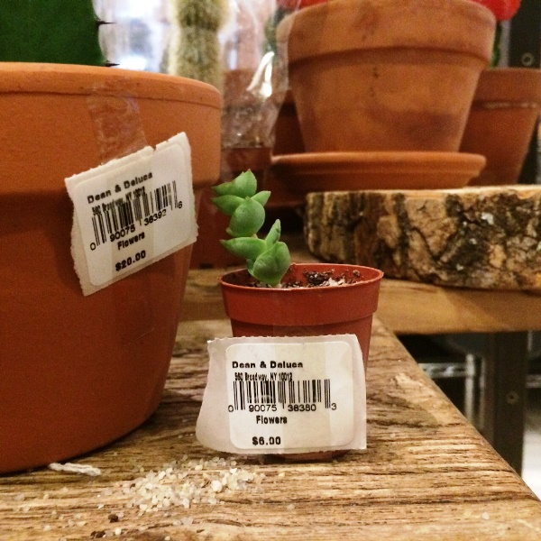$6 Succulent at Dean and Deluca in SoHo