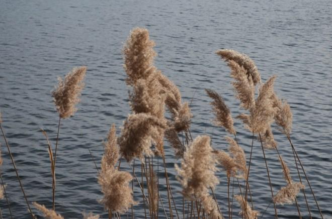 Reeds in Central Park at Jackie Onassis Reservoir