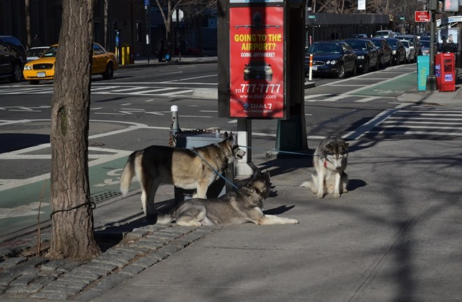 Upper West Side Wolf Pack