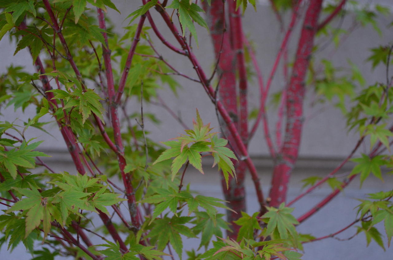Ornamental Maple