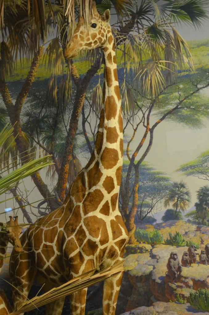 Giraffe at the Natural History Museum