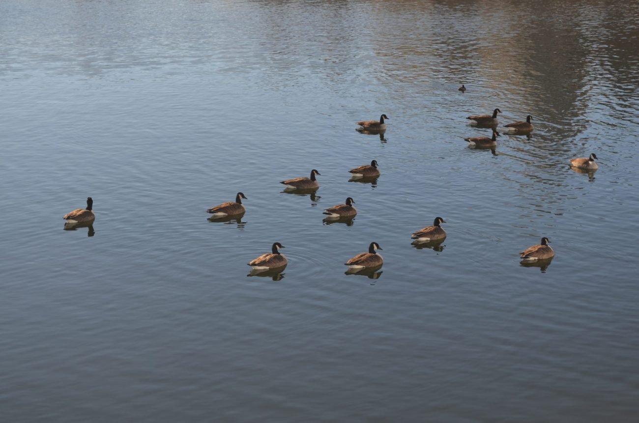 Canadian Geese in the Jacqueline Kennedy Onassis Reservoir