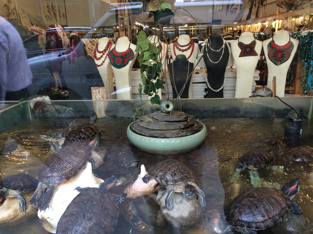 Red Ear Turtles