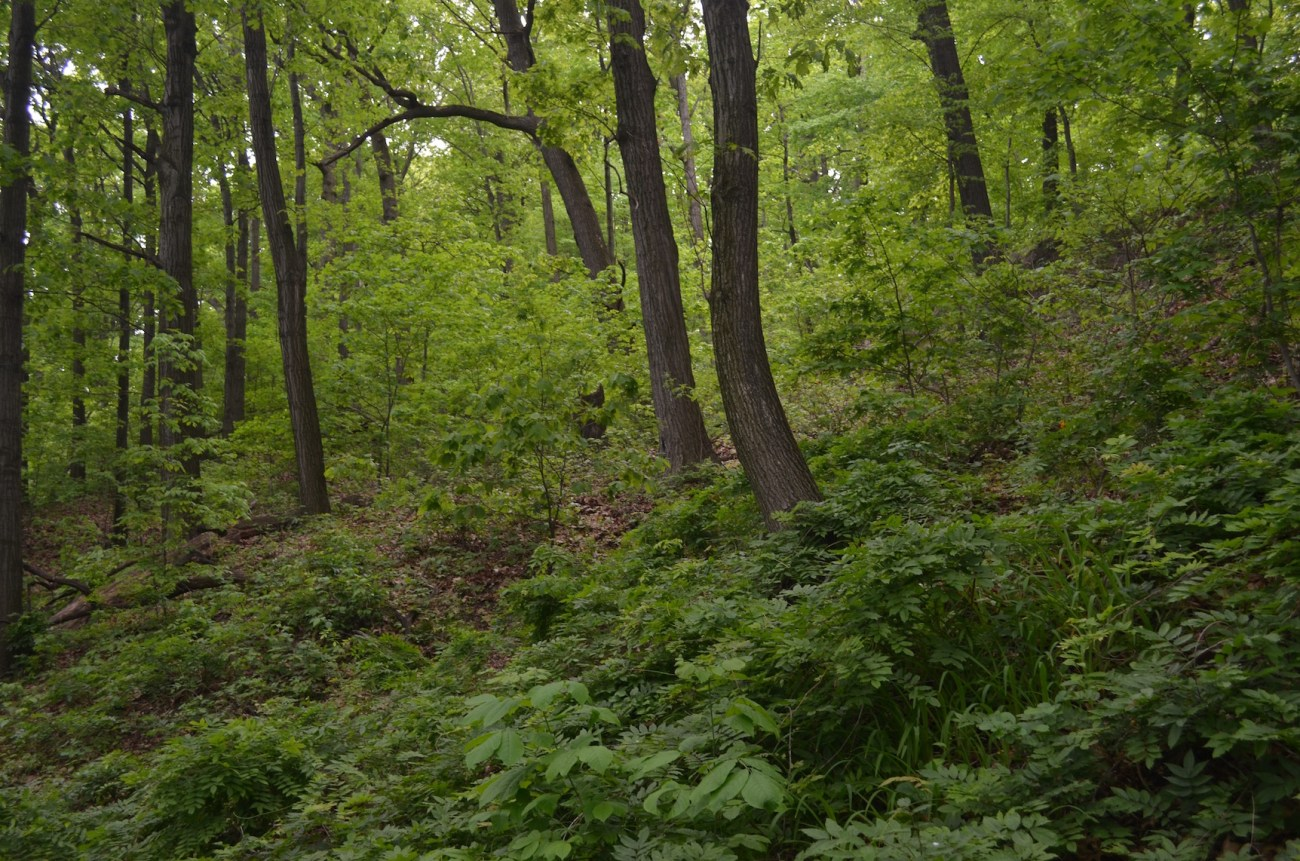 Forest in Inwood Hill Park