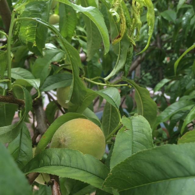 Harlem Peaches