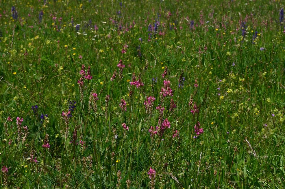 Alpine Flowers in Savoy Region of France