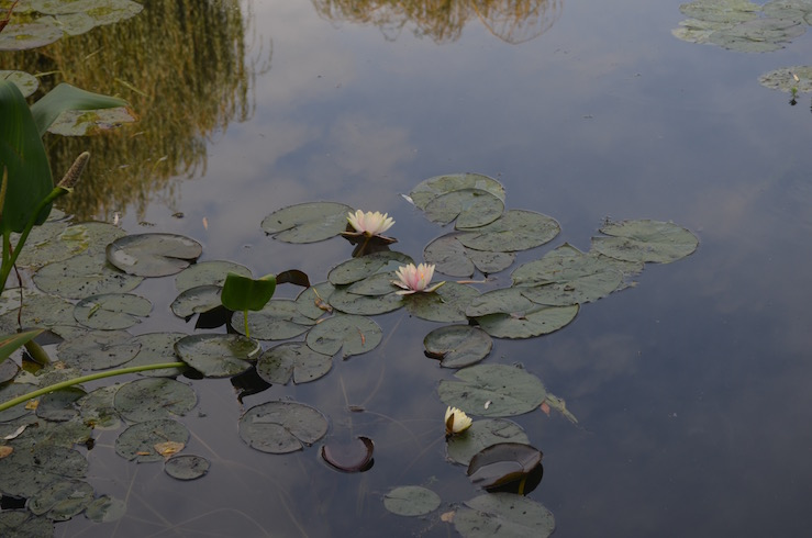 White Lillypads