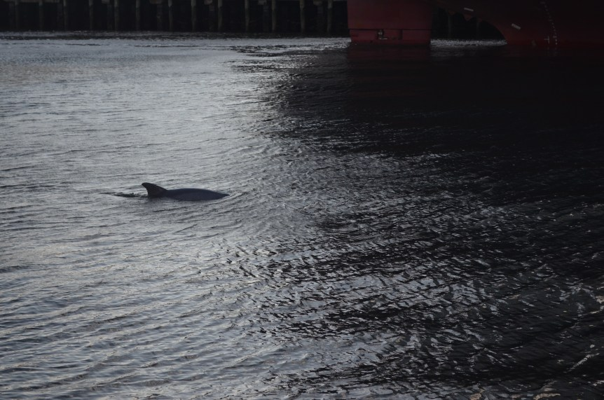Dolphin in Charleston Harbor