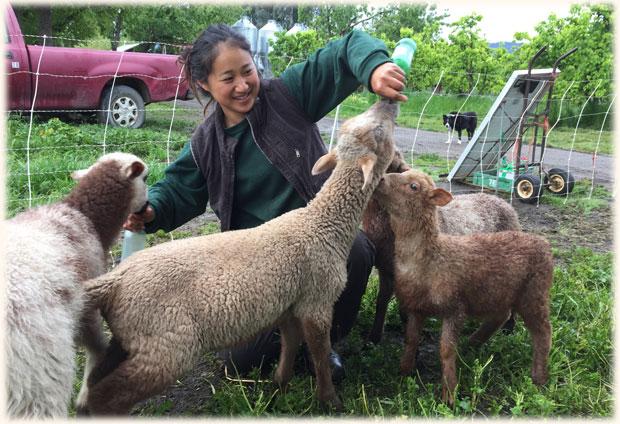 lamb-feeding_intern