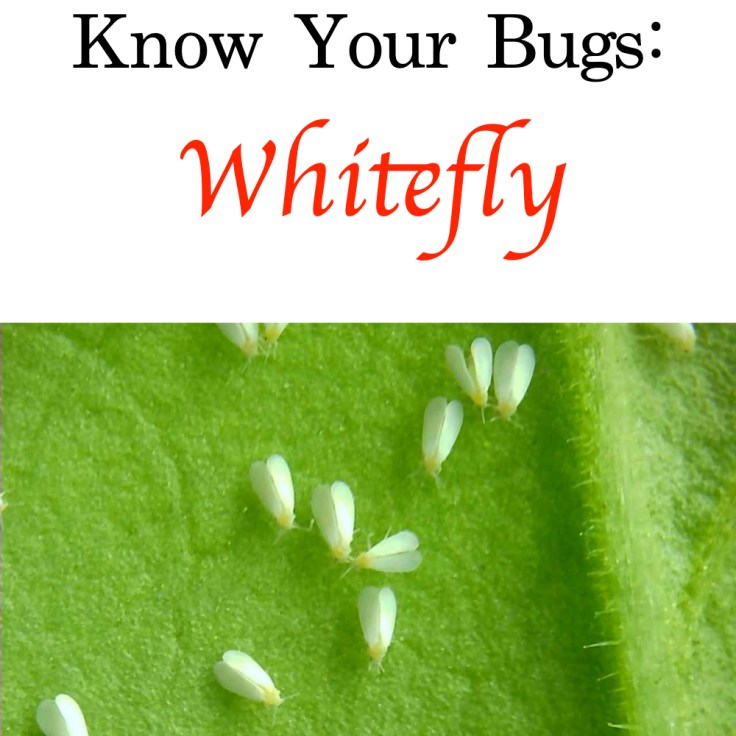 Whitefly title