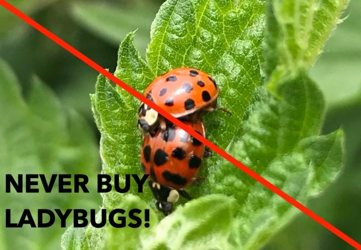Never buy ladybugs