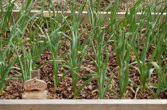 garlic bed