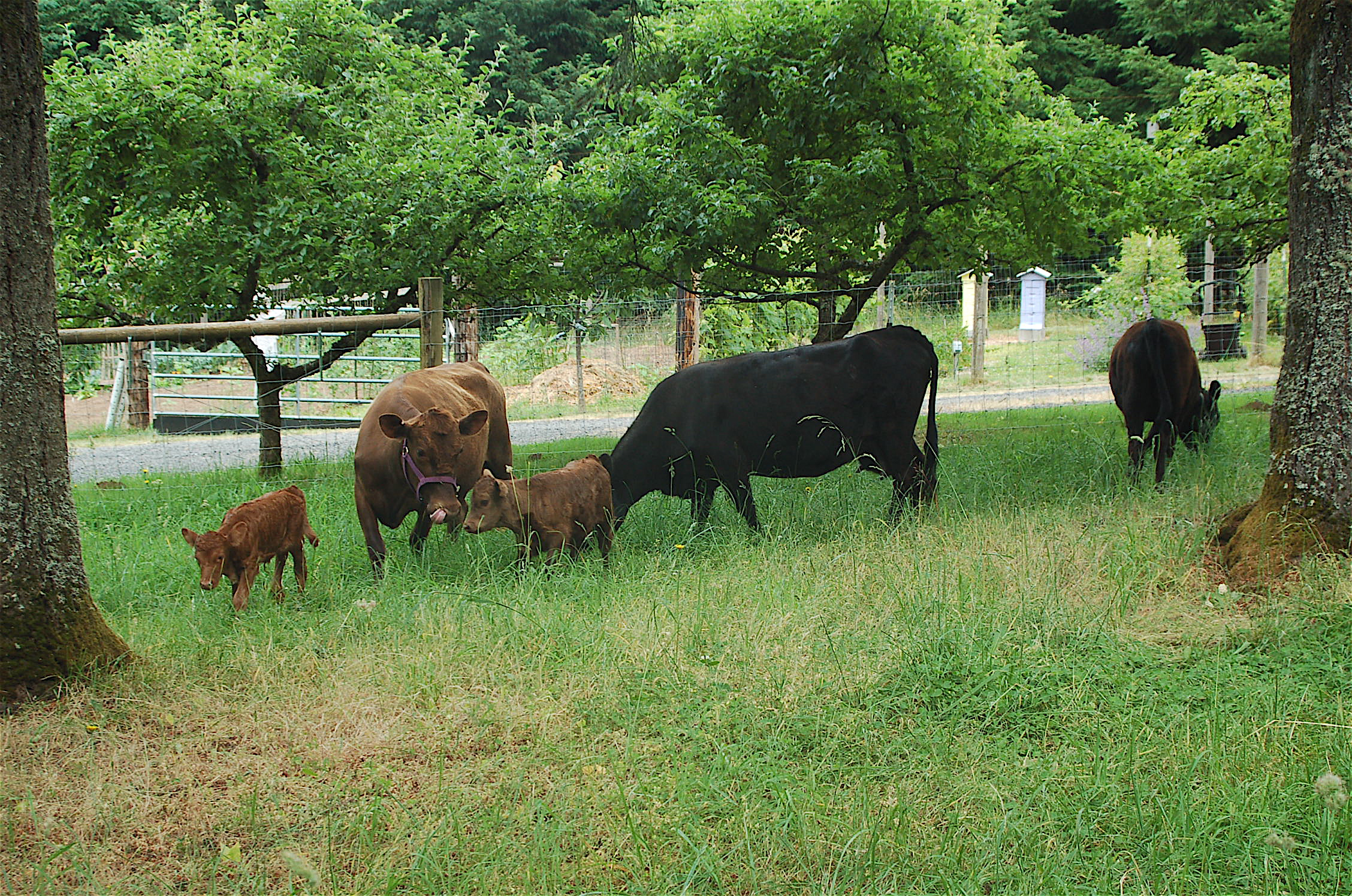 Dexter Cattle For Sale