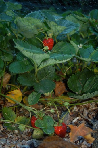 everbearing strawberries