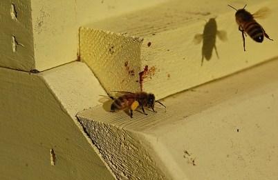 Jan 2015- bringing in pollen