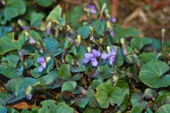 labrador violets