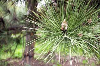Pine needles - Suramin