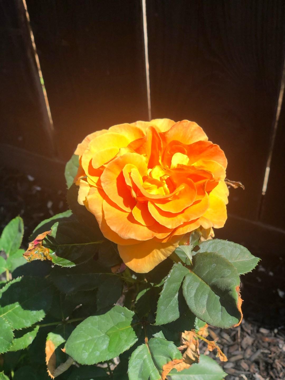 Orange full bloom rose with yellow center