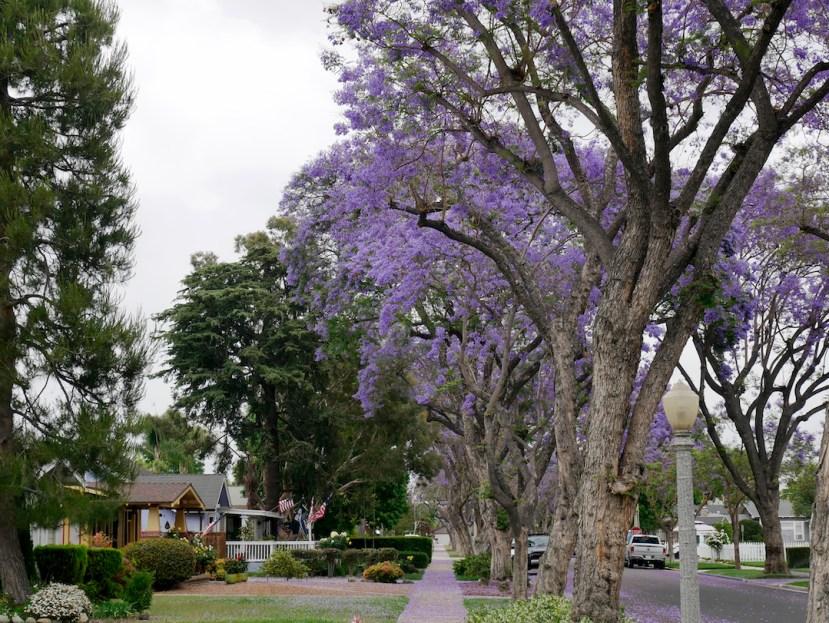 Purple Flowering Jacarandas Blossom In Fullerton Fullerton Observer