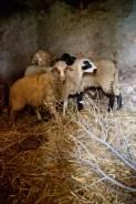KETAMA The mutton (before Edil Kabir)
