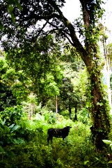 cow in the jungle