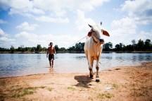 Angkor Wat - A cow taking a bath