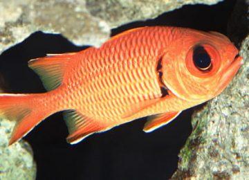 squirrelfish photo 450x336 full