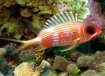download big eye squirrelfish