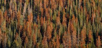 Colorado's Great Tree Die-Off