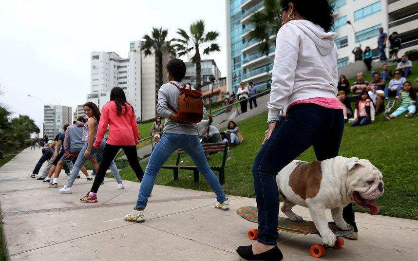 Отто, из Перу, успешно провела переговоры в туннель, сделанный из ног 30 человек по Мирафлорес Costa Verde в Лиме Нажмите здесь, чтобы посмотреть Отто побить рекорд 1. Бульдог Отто из Перу успешно проехал между ног тридцати человек в Мирафлорес Коста Верде в Лиме. Кстати, Отто собрал много зрителей, которые пришли смотреть на собаку на скейте.