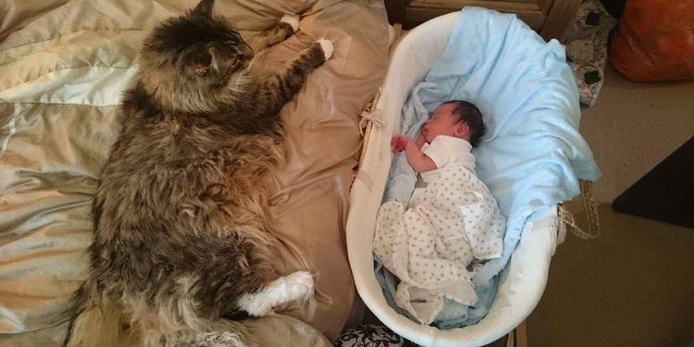 6. Лудо – самый большой кот.