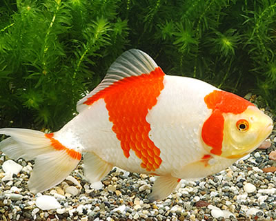 Japanese Koi  Garden Pond Fish Guide in New Jersey  Full