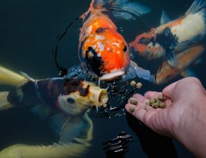 koi friendly feeding tips