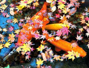 extend your koi pond