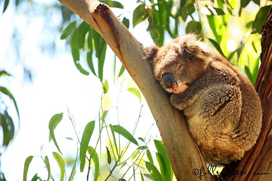 sleeping koala in between branches of eucalyptus tree in Australia