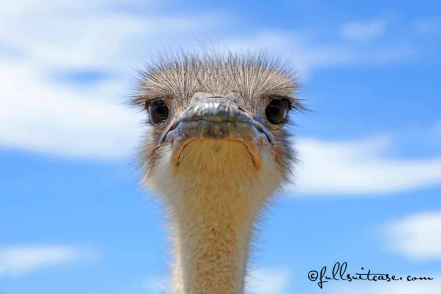 Curious ostrich head close-up. South Africa