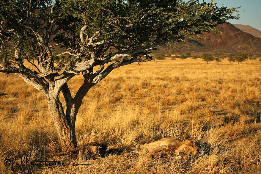 Well camouflaged lion and his prey in African savannah