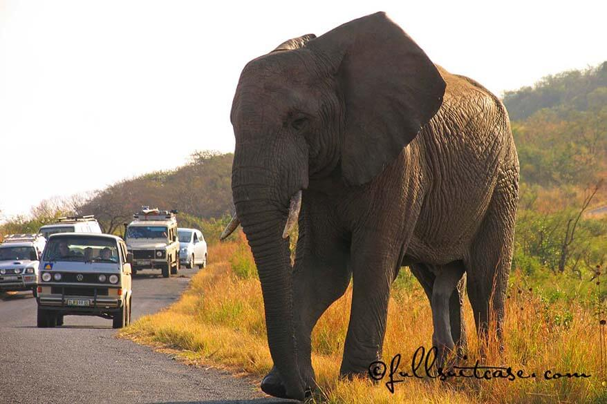 African elephant walking on a road between cars