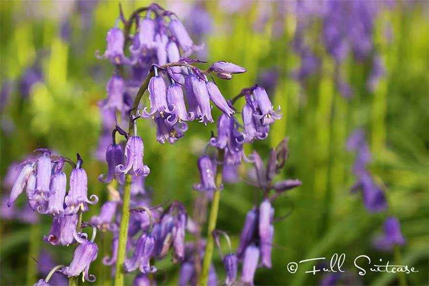 Hallerbos is Famous for Bluebells or Wild Hyacinth