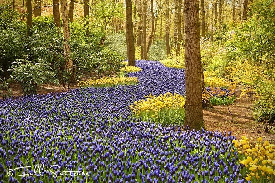Blue carpet of grape hyacinths in Keukenhof