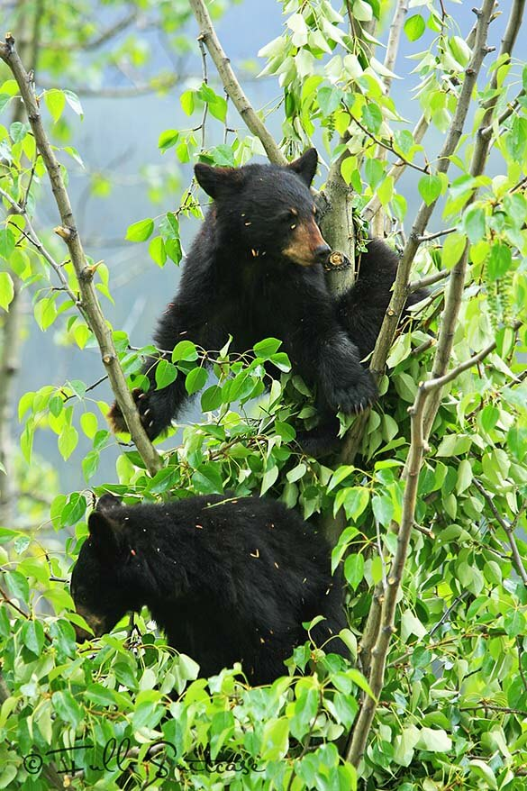 Black bear cubs sitting in a tree Canada