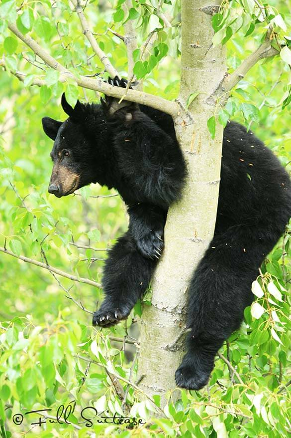 Watching bears in Canada