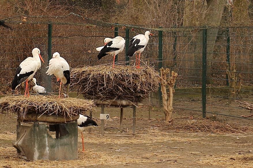 Storks of Alsace at Parc de L'Orangerie Strasbourg