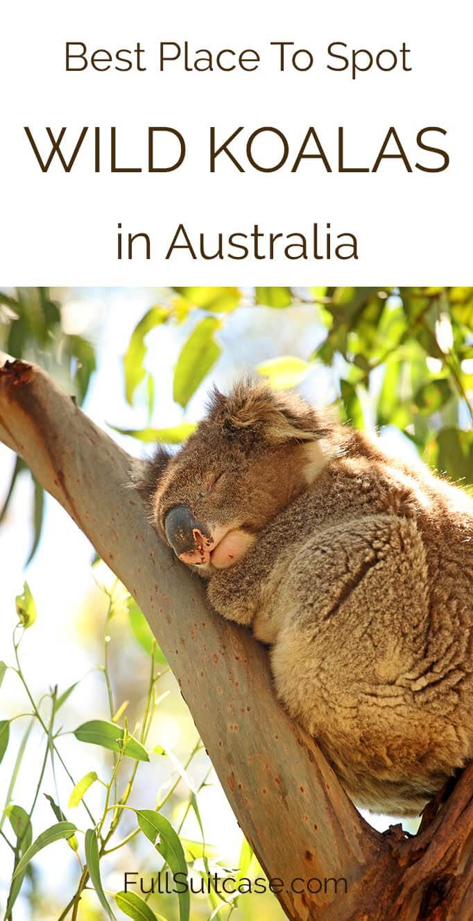 Best place to see wild koalas in Australia #koala #Australia #wildlife