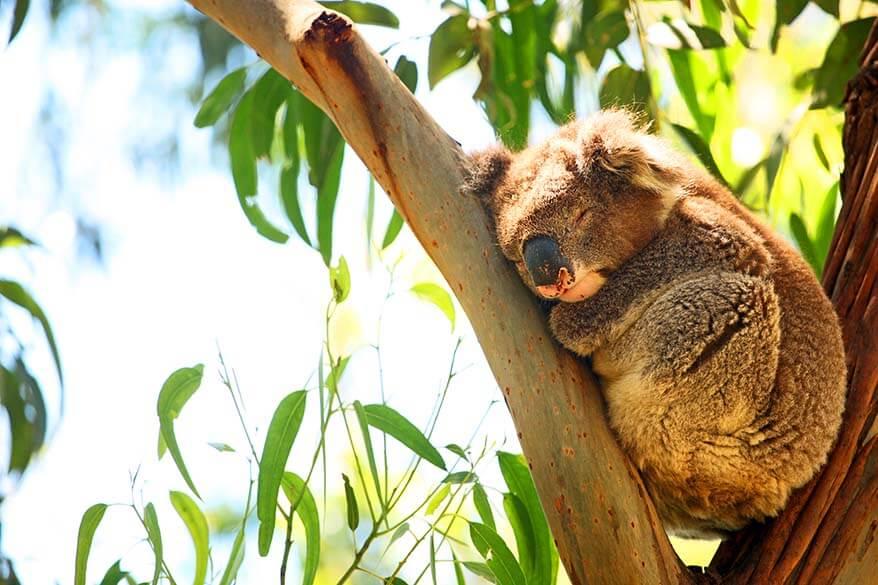 Kennett River Koala Walk is the best place to spot wild koalas in Australia