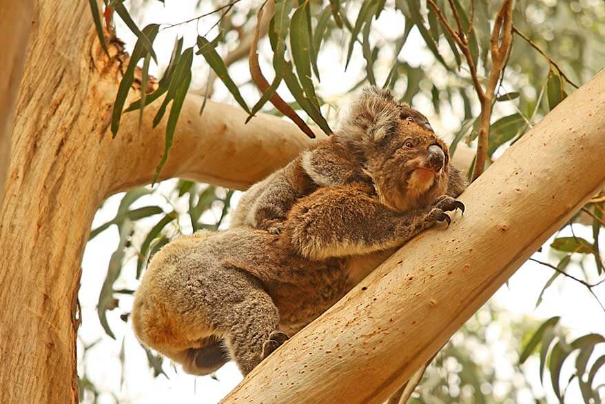 Koala with baby in the wild - Australia