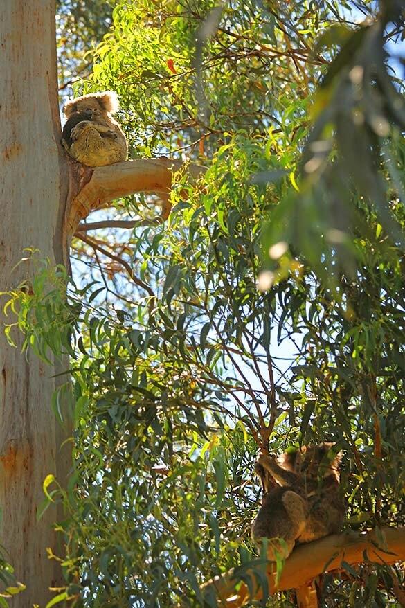 Spotting wild koalas with babies in the eucalyptus trees along the Great Ocean Road in Australia