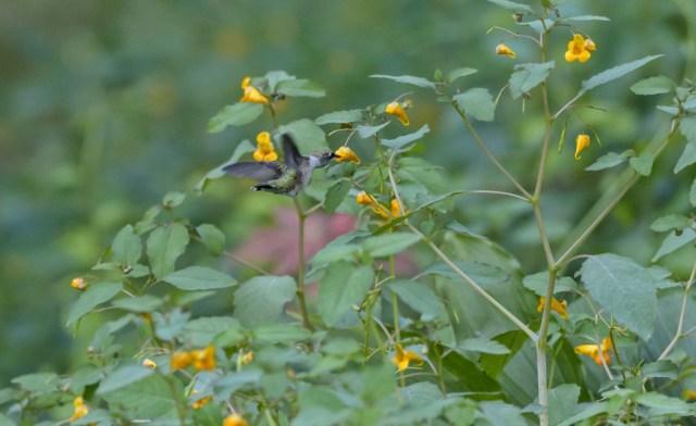 Ruby-throated Hummingbird  (Archilochus colubrid)