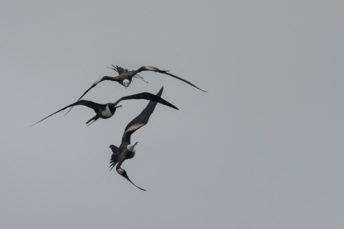 Adult and Juvenile Magnificent Frigate Birds (Frigate magnificens) at Bush Key